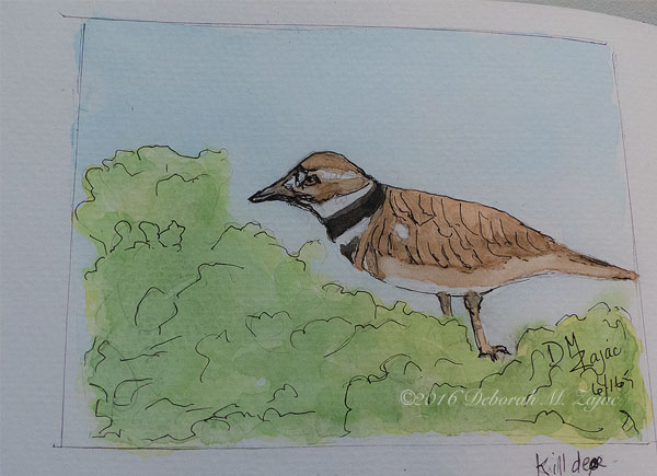 Killdeer in Watercolor