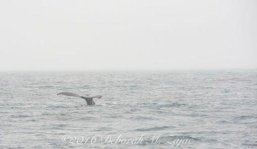 Humpback Whale Fluking