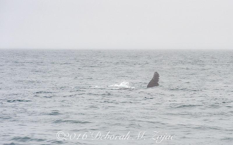 Humpback Whale Flipper;