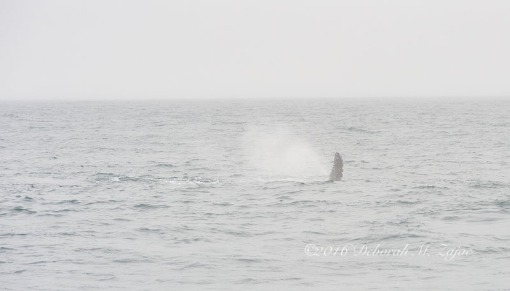 Humpback Whale Spouting w Flipper showing