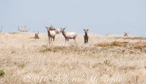 Tule Elk Males