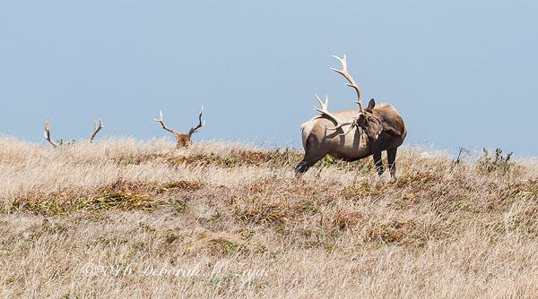 Tule Elk Male