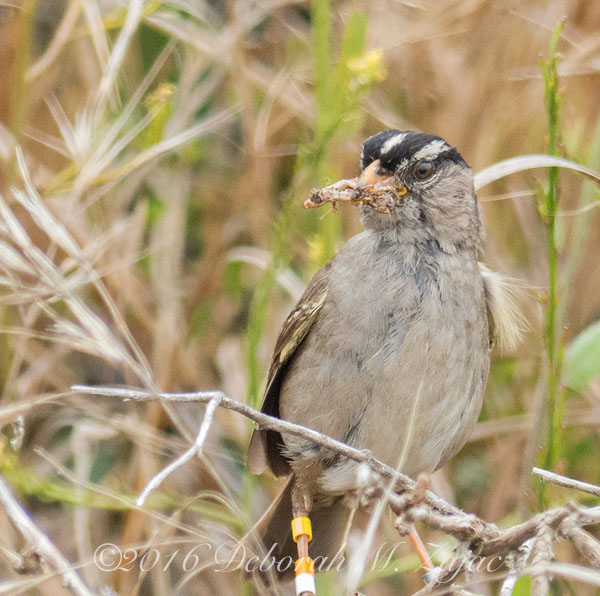 Banded White Crown Sparrow