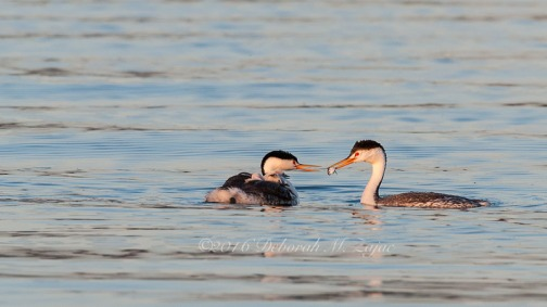 Clark's Grebe Male making Fish Transfer to Female