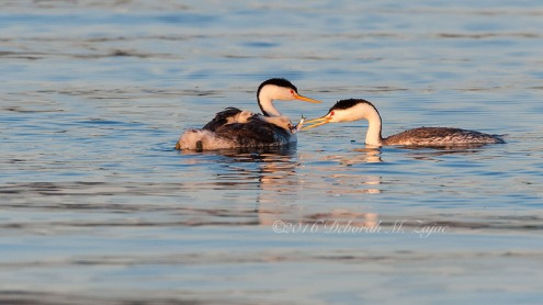 Clark's Grebe Male Transferring Fish to Grebe Chick
