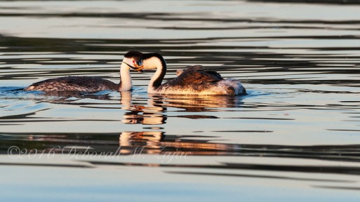 Clark's Grebe Pair making fish transfer