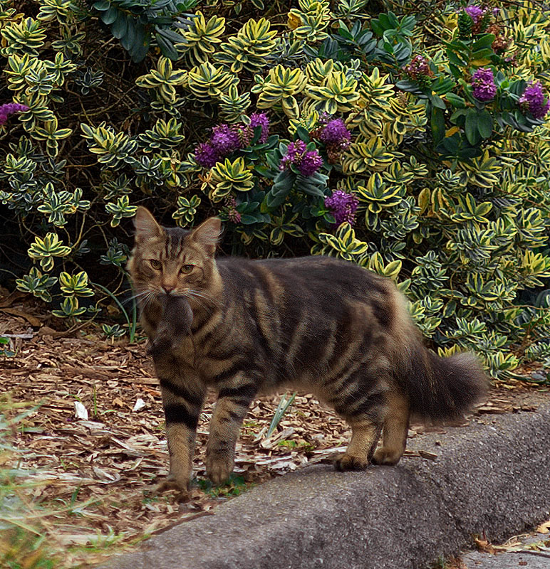 Feral Cat with Mouse