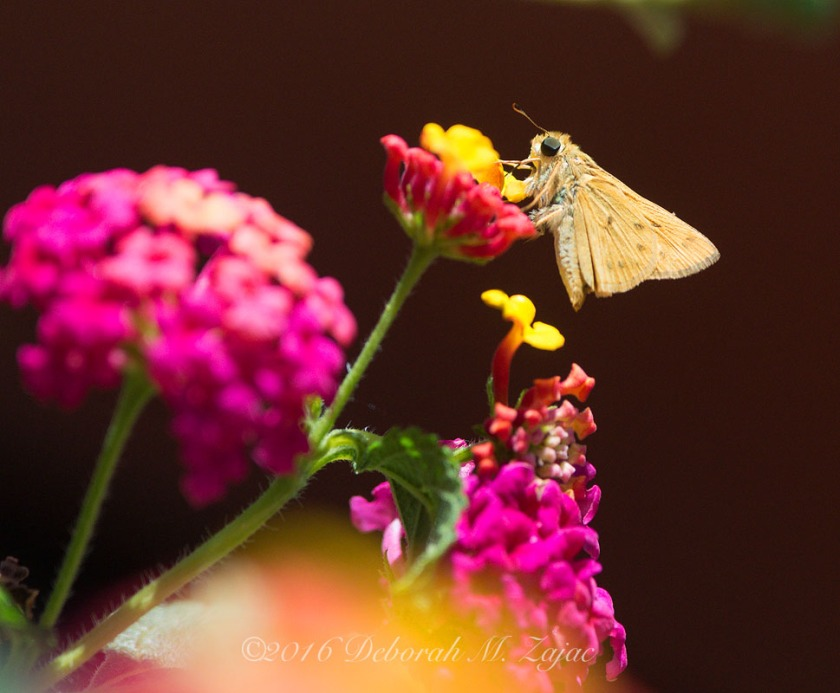 Fiery Skipper on Lantana