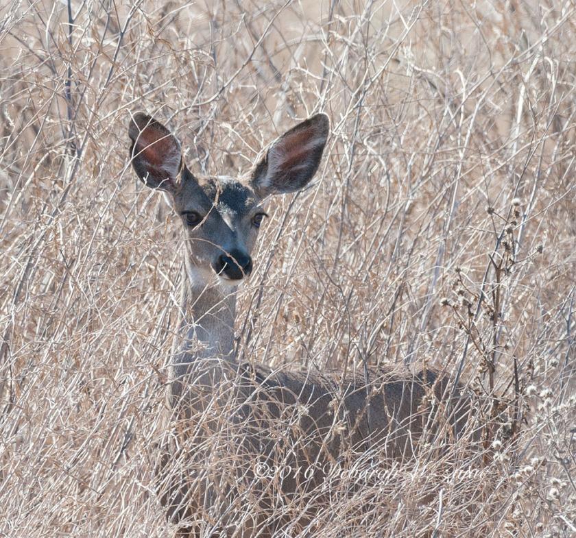 Doe  Deer Female