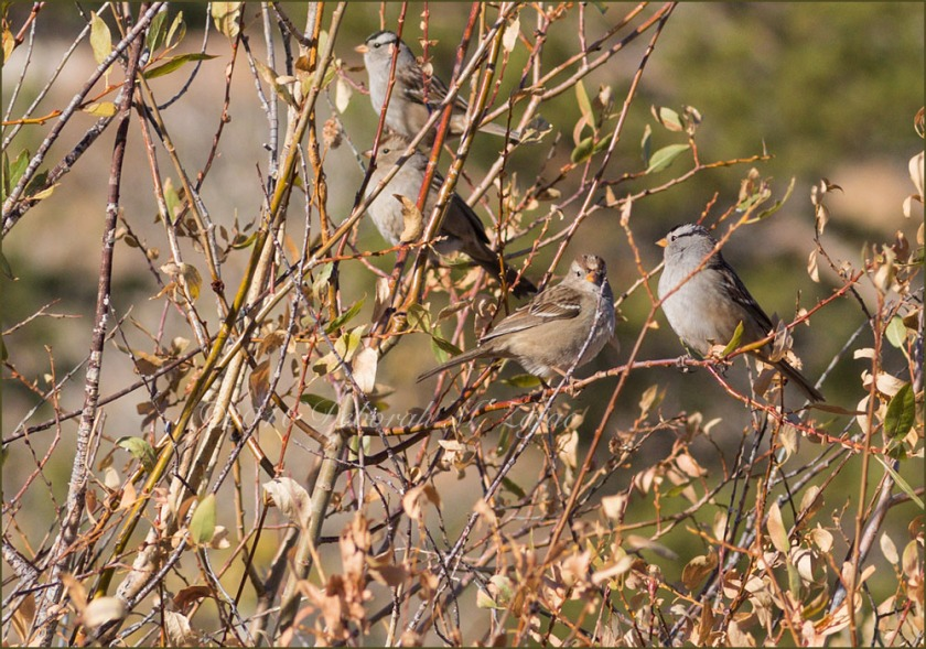 White Crowned Sparrows