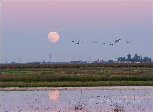 Sandhill Cranes and the Super Moon November 2016