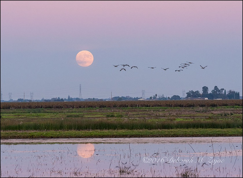 Sandhill Cranes and the Super Moon November 2016