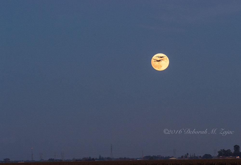 Sandhill Cranes and the Super Moon