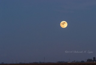 Sandhill Cranes and the Full Moon