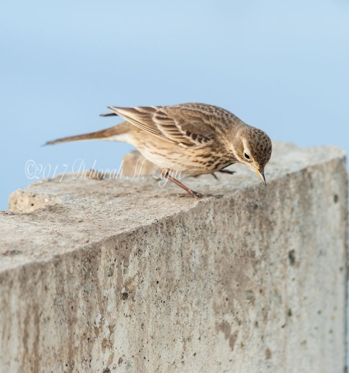 American Pipit Takes a Bow