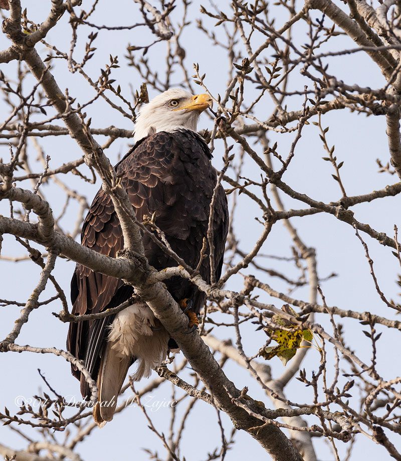 Bald Eagle-Adult