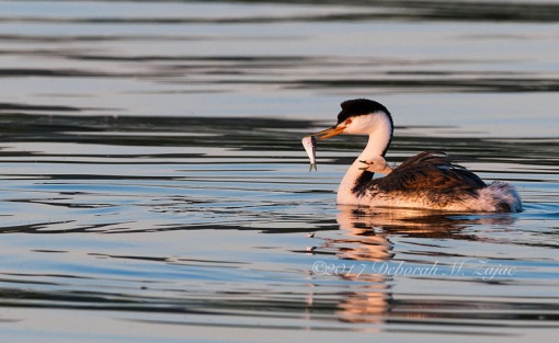 Clark's Grebe with Chick and Fish