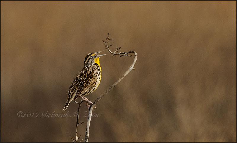 Meadowlark Western Male