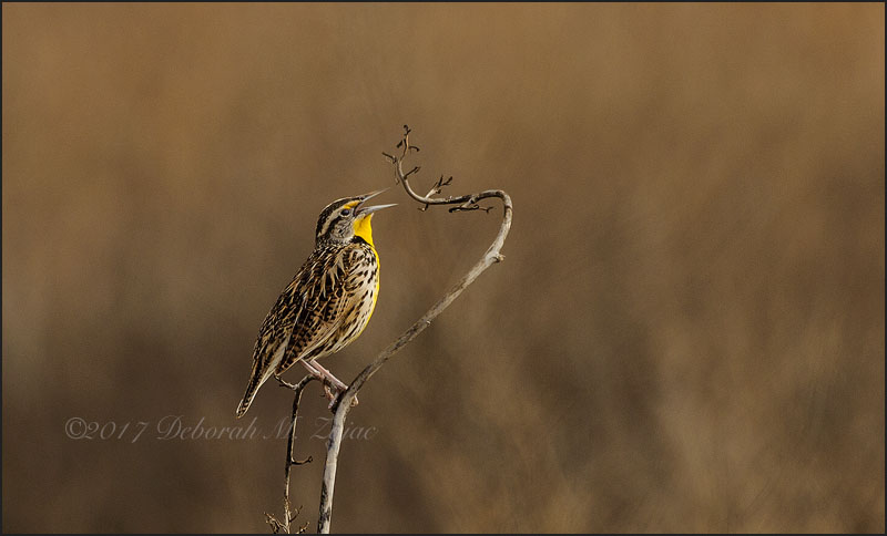 Meadowlark Western Male
