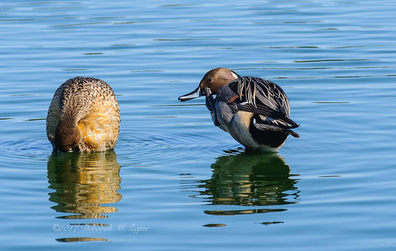 Northern Pintail- Male and Female
