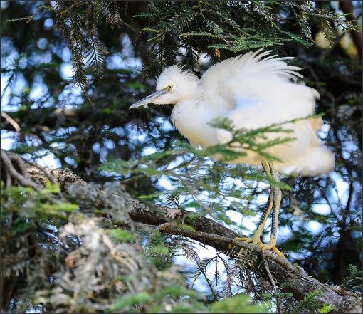 Snowy Egret- Juvenile