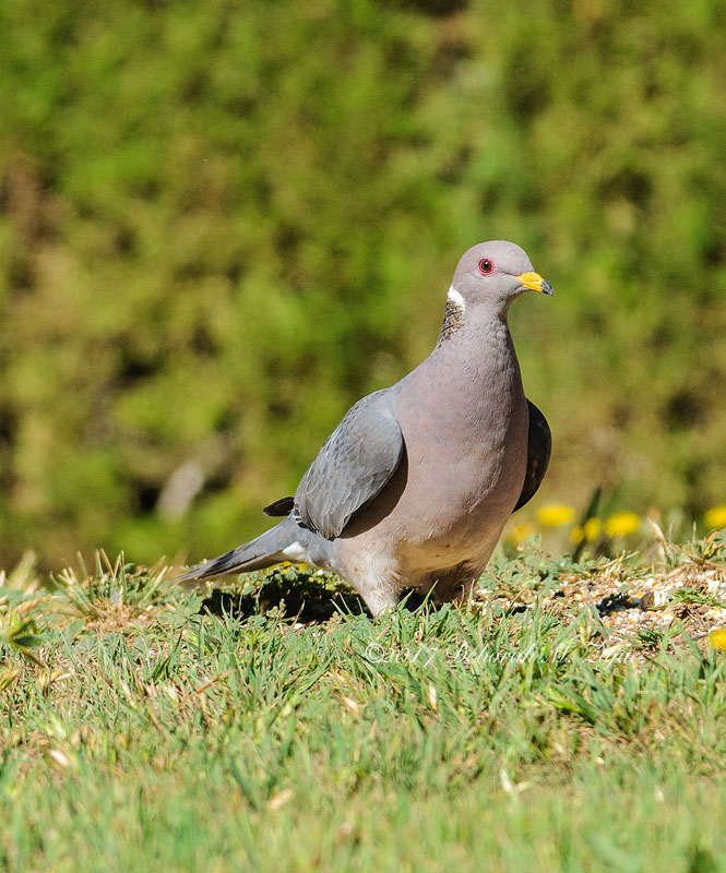 Banded-tail Pigeon