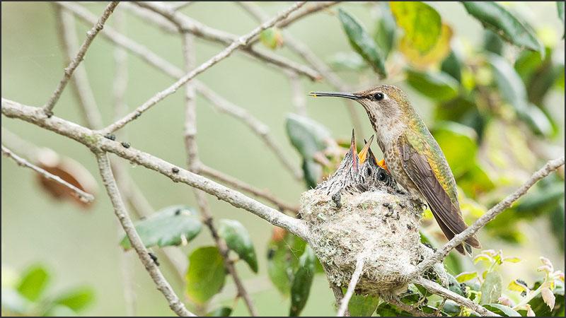 Anna's Hummingbird with Hungry Chicks