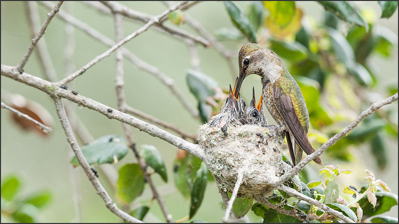 Anna's Hummingbird Feeding her Chicks