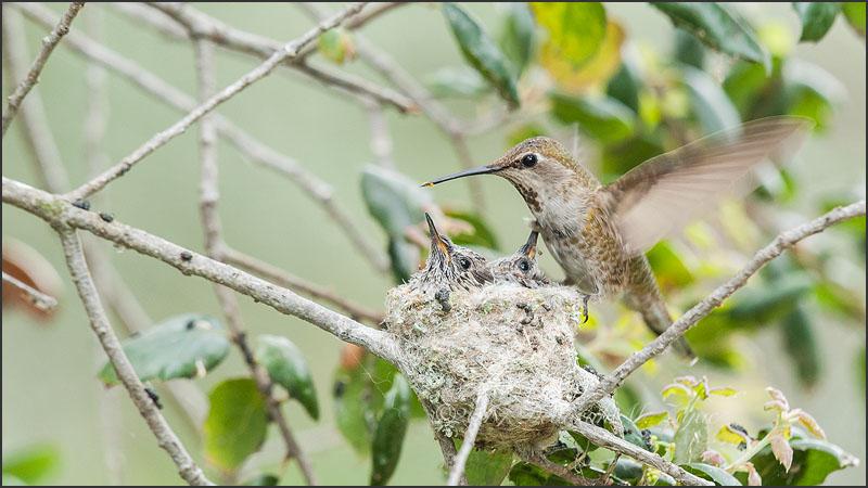 Anna's Hummingbird Female Returns to her Brood