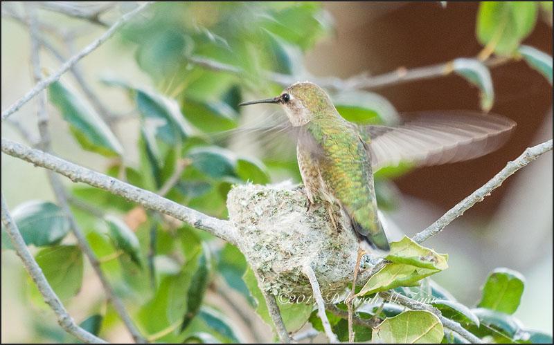 Anna's Hummingbird Female landing on the Nest