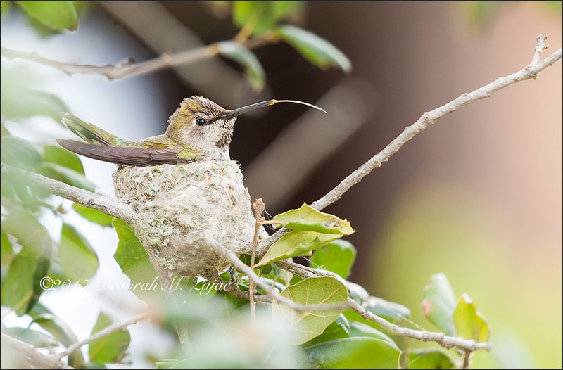 Anna's Hummingbird Female tongue out on nest