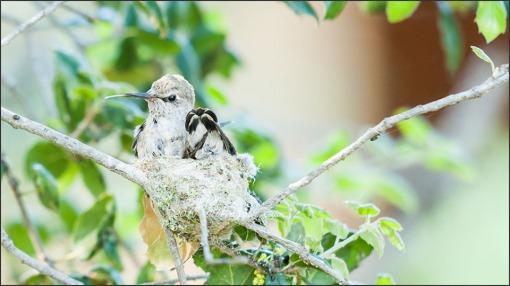 Anna's Hummingbird 3 wks old