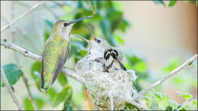 Anna's Hummingbird Family 3wks