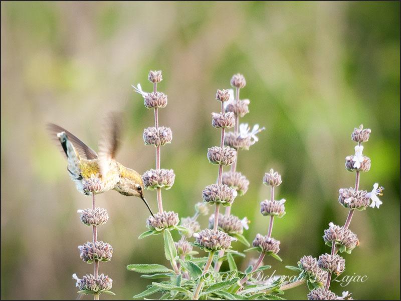 Anna's Hummingbird Female Feeding
