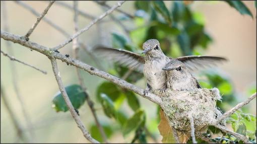Anna's Hummingbirds 3 weeks old