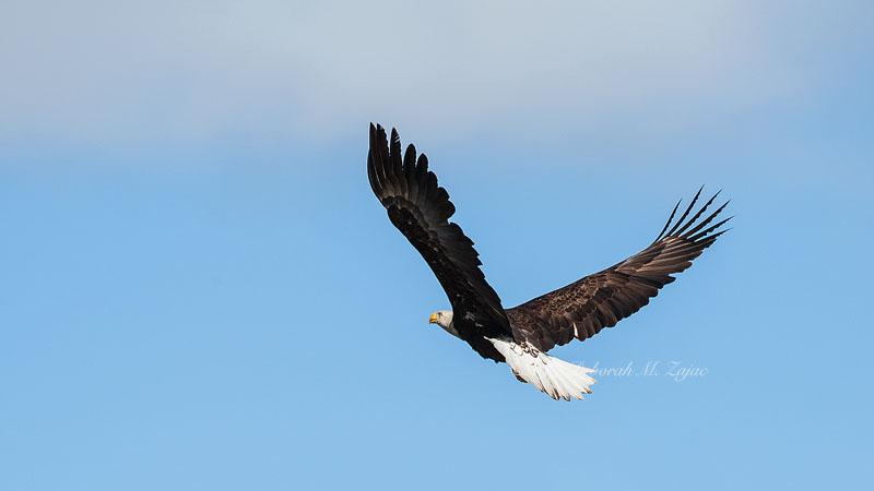 Bald Eagle Female