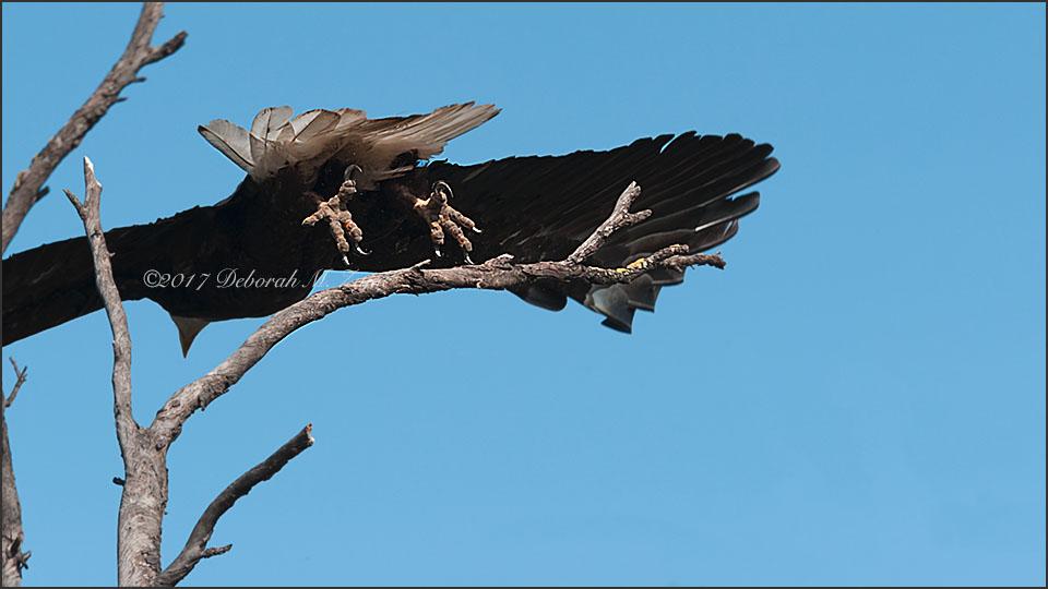 Bald Eagle Talons Female