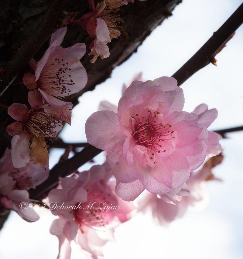 Flowering Plum