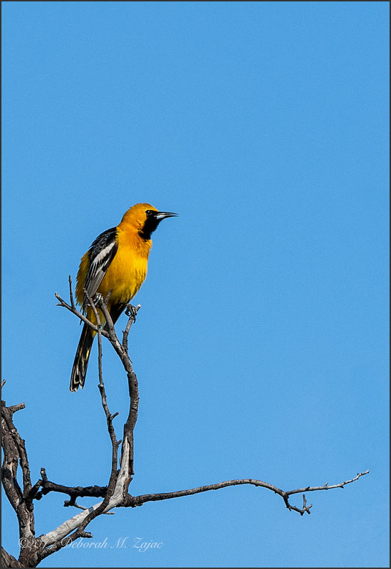 Hooded Oriole-Male