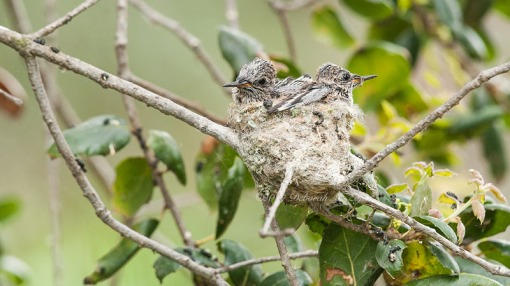 Anna's Hummingbird Chicks eyes open
