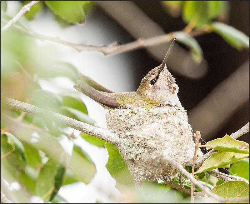 Anna Hummingbird Female on the Nest