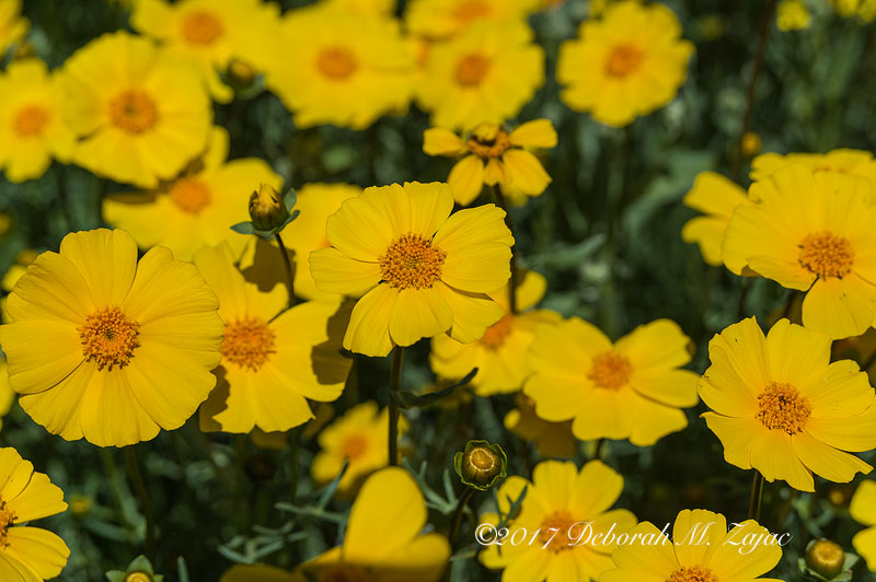 Coreopsis Wildflowers-Super Bloom 2017