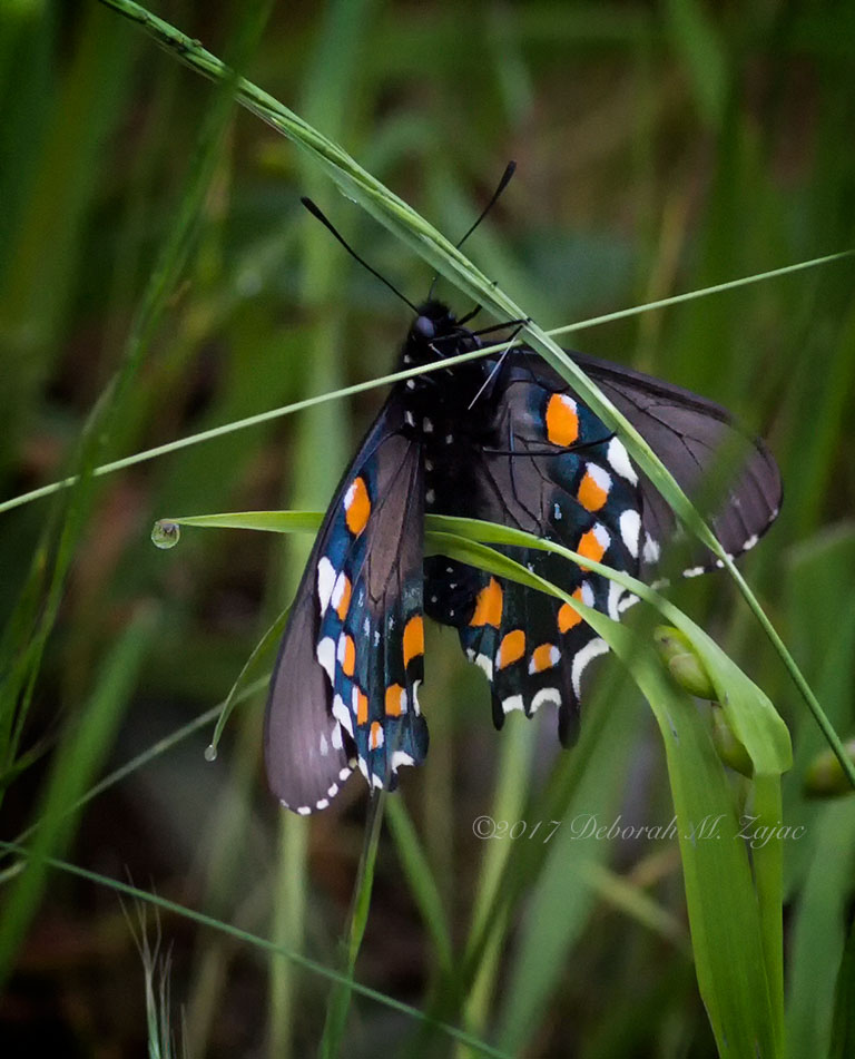 Pipvine Swallowtail Butterfly