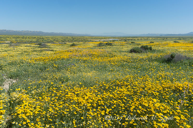Super Bloom Carrizo Plain Nat Monument