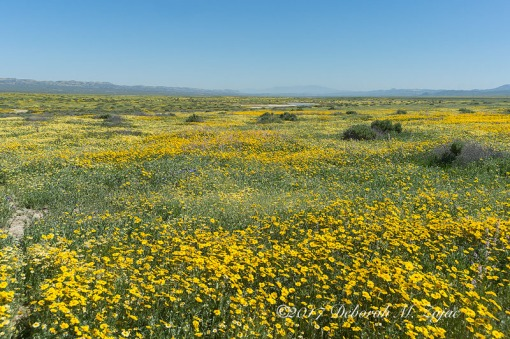 Super Bloom Carrizo Plain Nat Monument