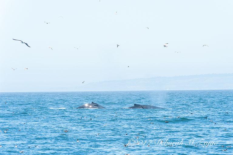 2 Humpback Whales
