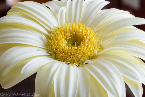 African Daisy Image 14