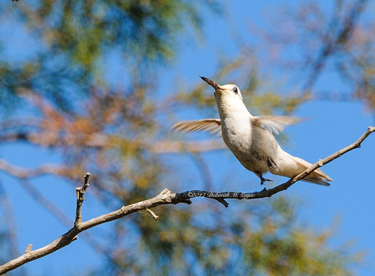 Leucistic Allen's Hummingbird