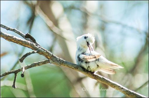 Preening Rare White Hummingbird