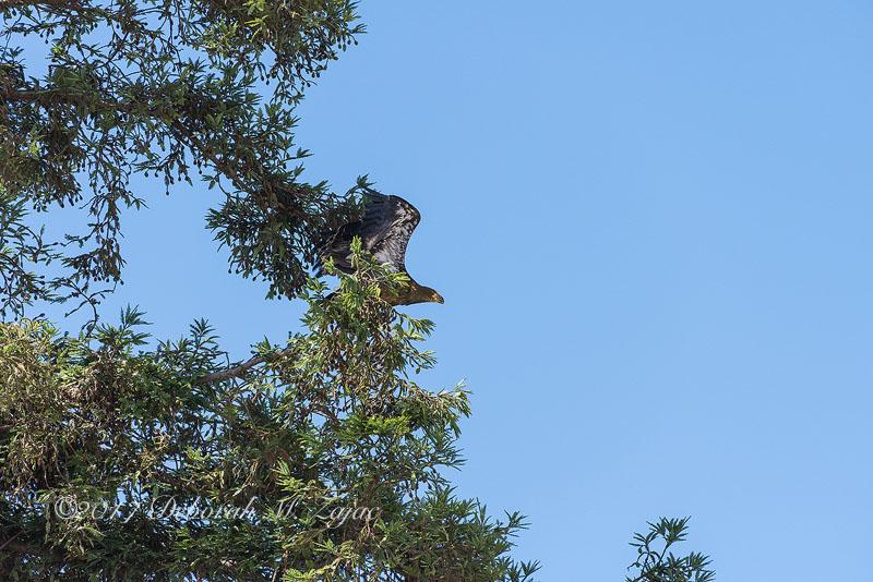 American Bald Eagle Fledgling Take Off